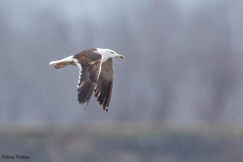 great-black-backed-gull_2012-01_kerkini