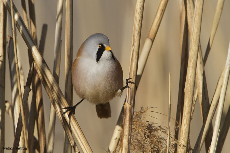 bearded_reedling_lake_petron_2010-12
