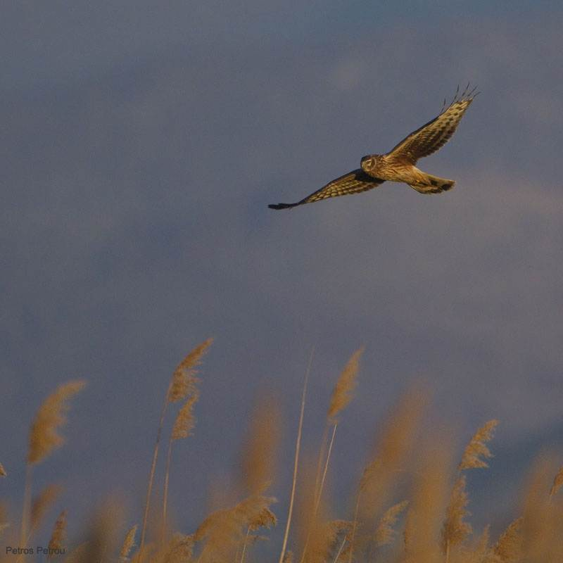hen_harrier_lake_petron_2010-12