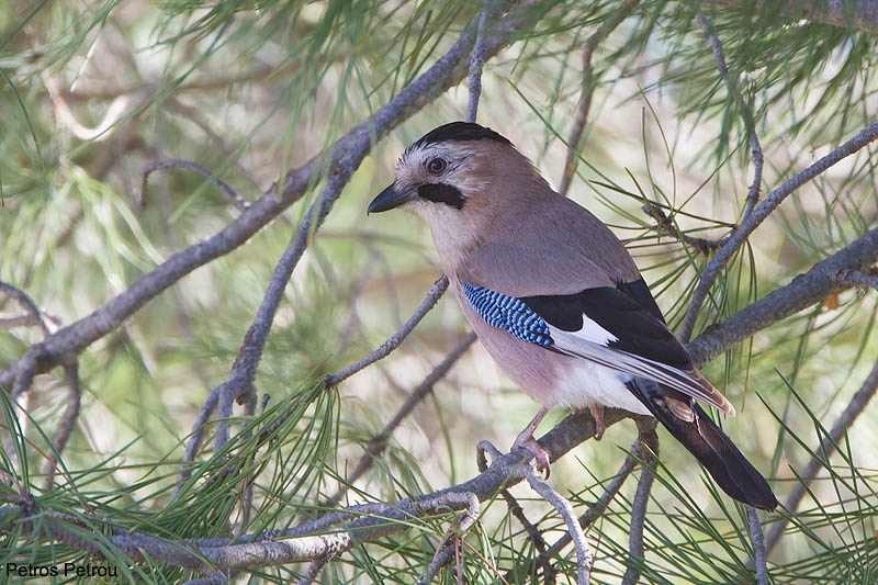 an-eurasian-jay-is-sitting-on-a-pine-tree_2013-04_lesvos