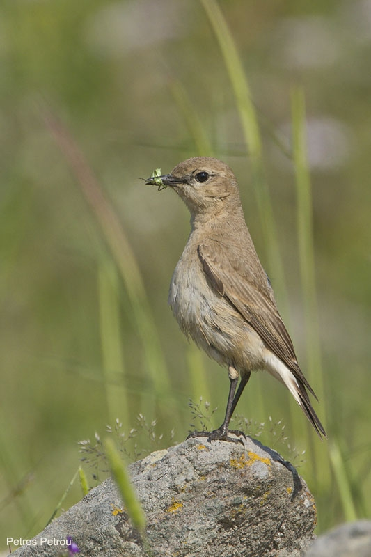 isabelline-wheatear-with-prey_lesvos_2011-05