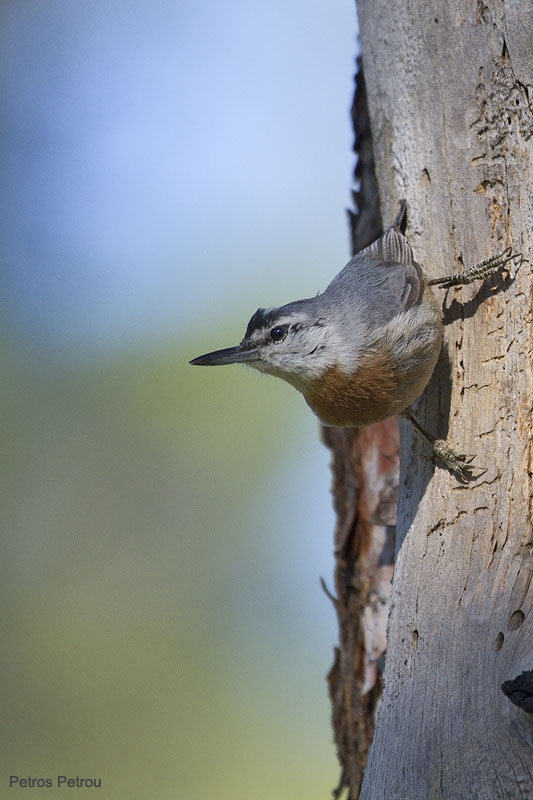 krupers-nuthatch_lesvos_2011-05