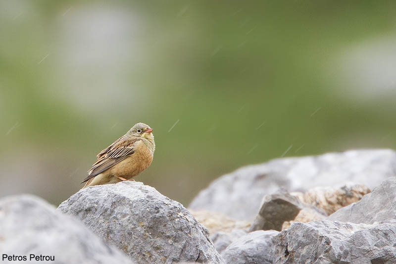 an-ortolan-bunting-in-the-rain_2013-06_mount-vardousia