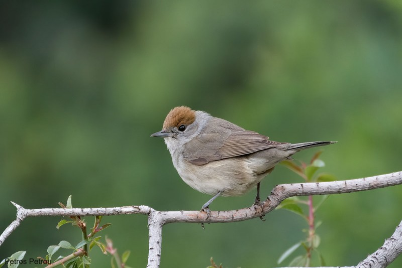 A female Blackcap (Sylvia atricapilla) is sitting on a tree branch at Nafplio, Greece