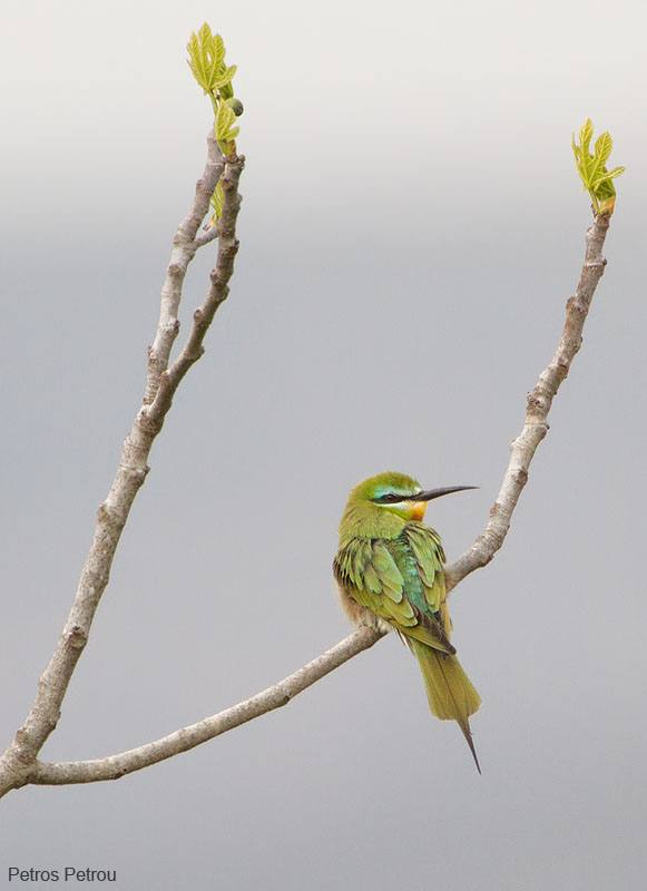 blue-cheeked_bee-eater_2013-03_neakios-greece