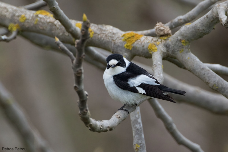 A male Collared Flycatcher (Ficedula albicollis) is sitting on a fig tree at Nea Kios, Greece