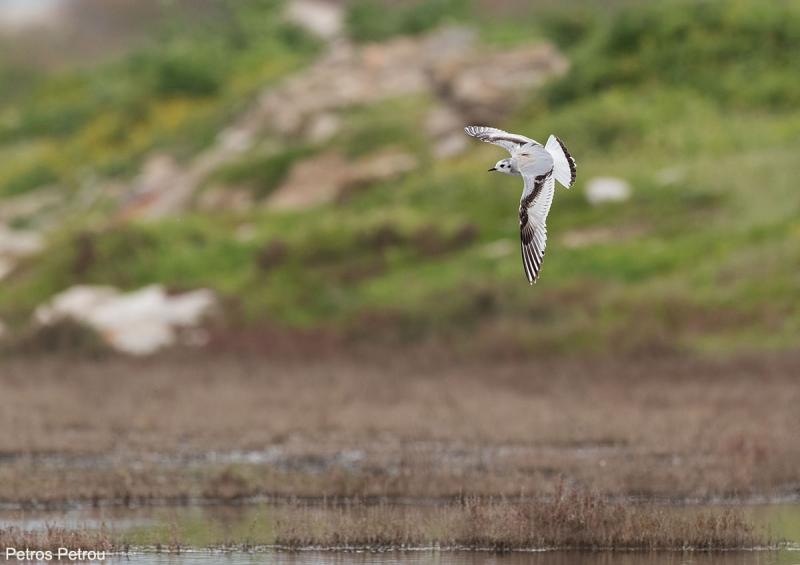 A Little Gull (Hydrocoloeus minutus) is flying over Nea Kios wetland, Greece