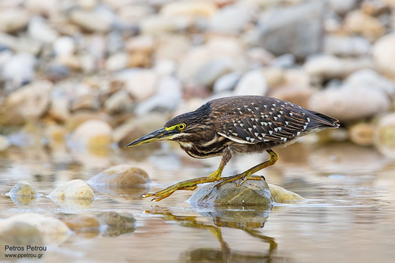 Striated-Heron_2019-November_Chania_Crete_Greece