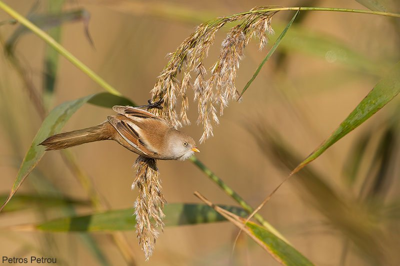 bearded_reedling_female_hanging-from-a-reed_2013-11_lamia-ilias