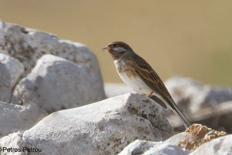 pine_bunting_2013-11_mount_vardousia_greece