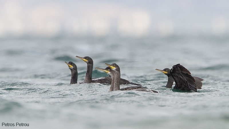 shag-family-swimming_2012-10_oropos