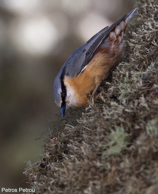 nuthatch_mount_parnasos_2014-october