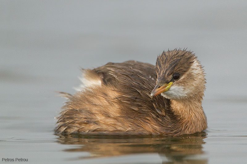 A Little Grebe swimming inside the Olympic rowing center of Athens located just beside the Schinias wetland.