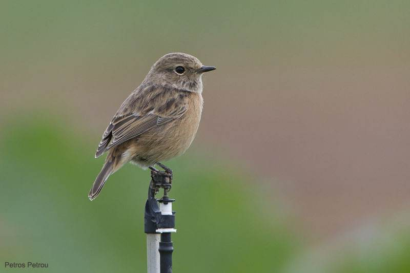 stonechat_shinias_wetlands_2010-10