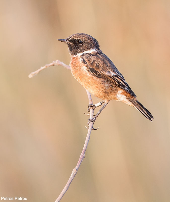 a_ringed_female_stonechat_sitting_on_a_twig_2013-08_schinias