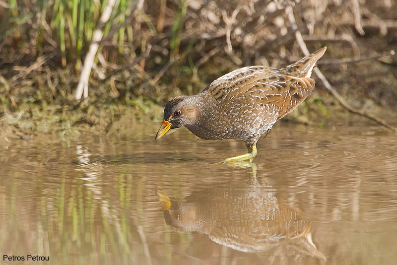 spotted-crake_2012-03-18_schinias