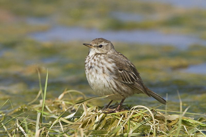 water_pipit_schinias_2011-03