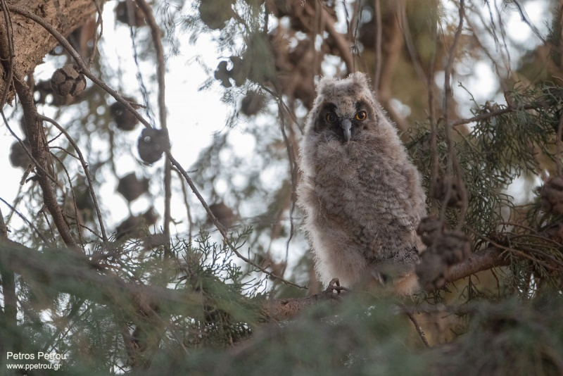 Long-eared_Owl_young_2021_Spata