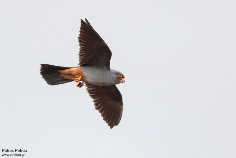 Red-footed_Falcon_male_flight_prey_2021_Spata