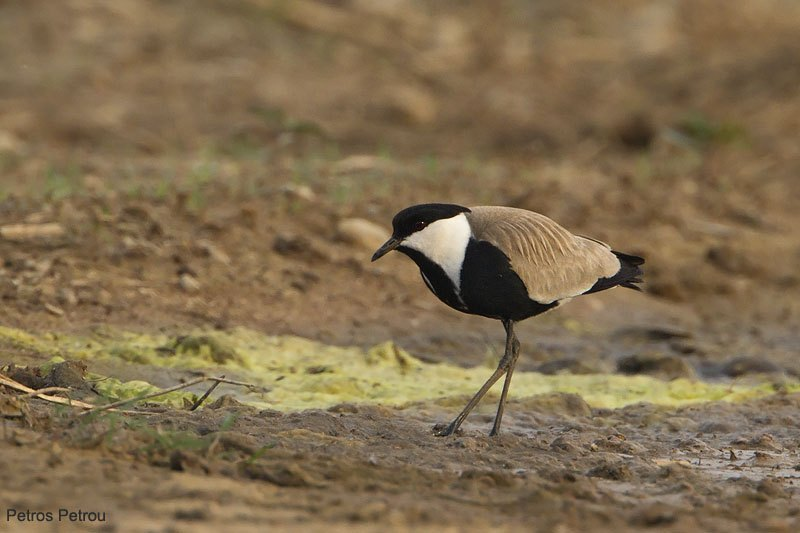 spur-winged_plover_2011-06_loutros