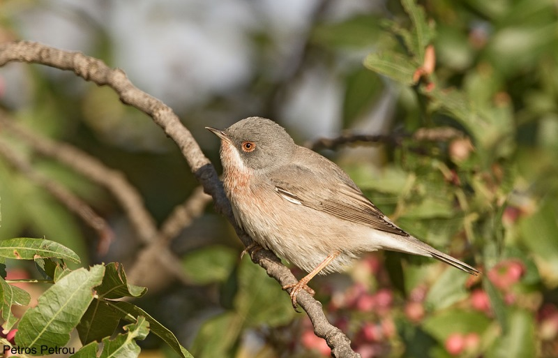 A male Subalpine Warbler (Sylvia cantillans) is sitting on a tree branch at Spata, Athens, Greece