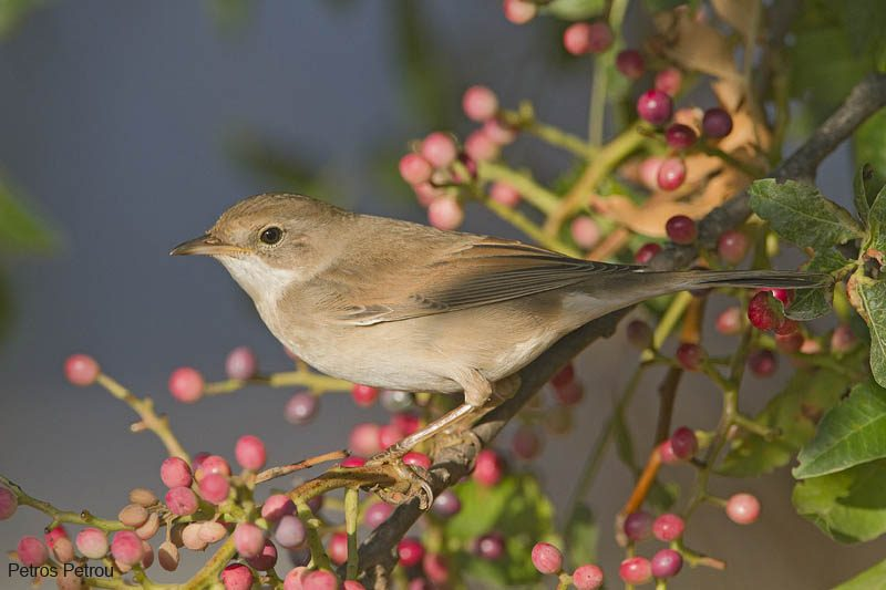 whitethroat_loutros-spata_2011-09