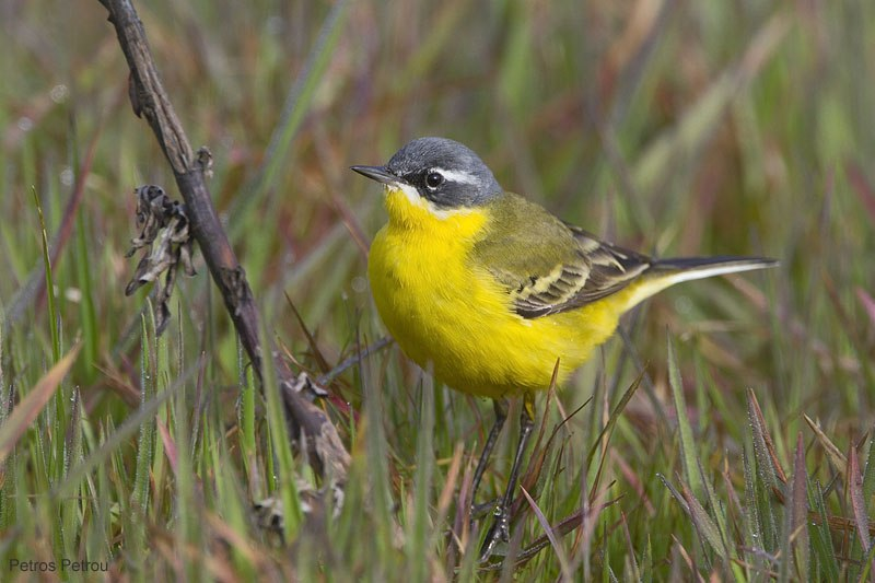 yellow-wagtail_flava_2011-03_loutros