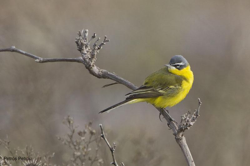 yellow-wagtail_tschutschensis_2011-03_loutros