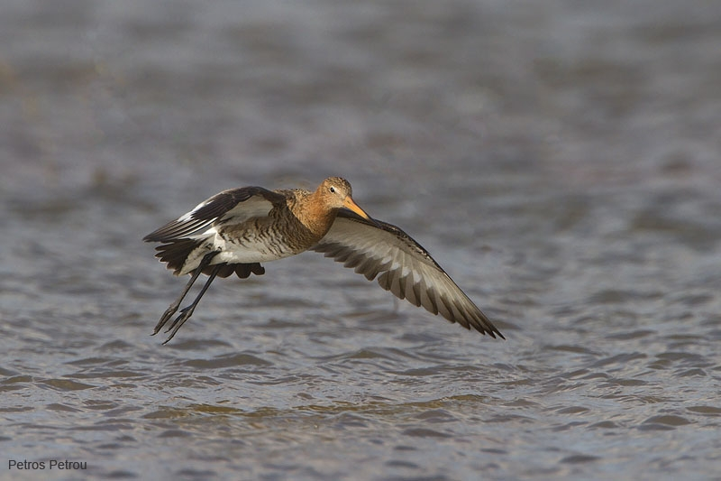 black-tailed_godwit_loutros_2011-03