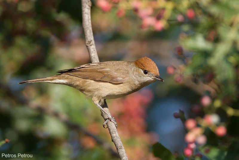 A female Blackcap (Sylvia atricapilla) is sitting on a tree branch at Spata, Athens, Greece