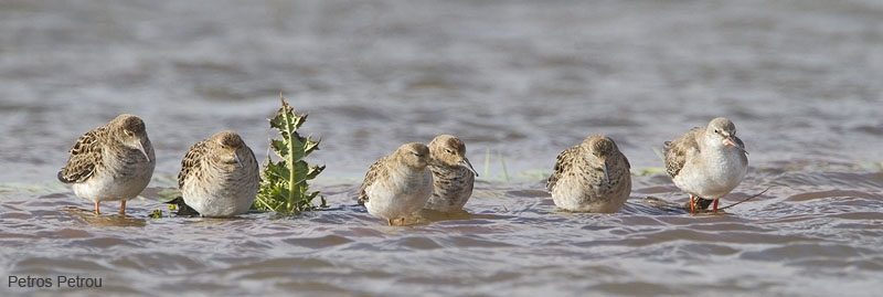 ruffs_spotted-redshank_loutros_2011-03
