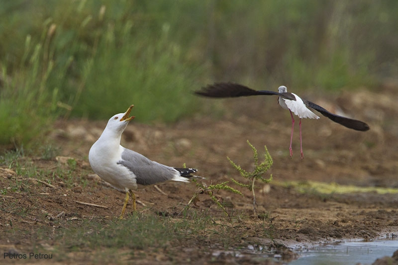 yellow-legged_gull_vs_black-winged_stilt_2011-06_loutros