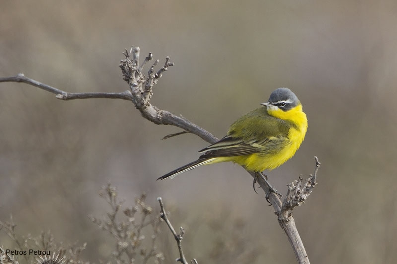 yellow-wagtail_tschutschensis_2011-03_loutros