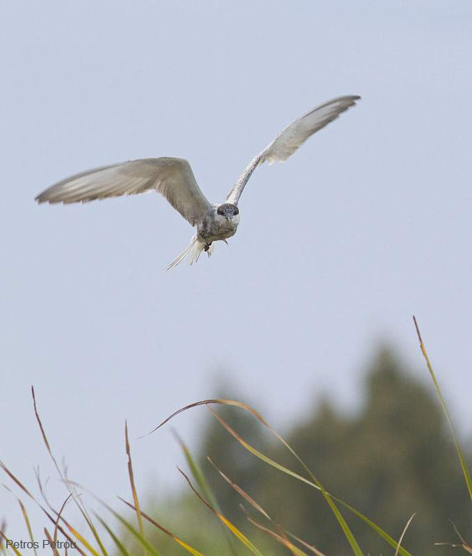 whiskered-tern_tritsis-park_2011-10