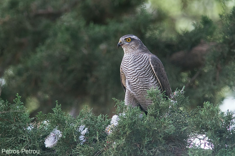 sparrowhawk_with_prey_2013-11_tritsis_park_greece