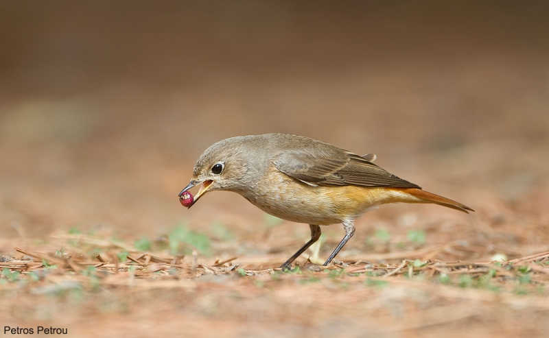 A Common Redstart (Phoenicurus phoenicurus) is feeding on the ground at Hymettus mount, Athens, Greece
