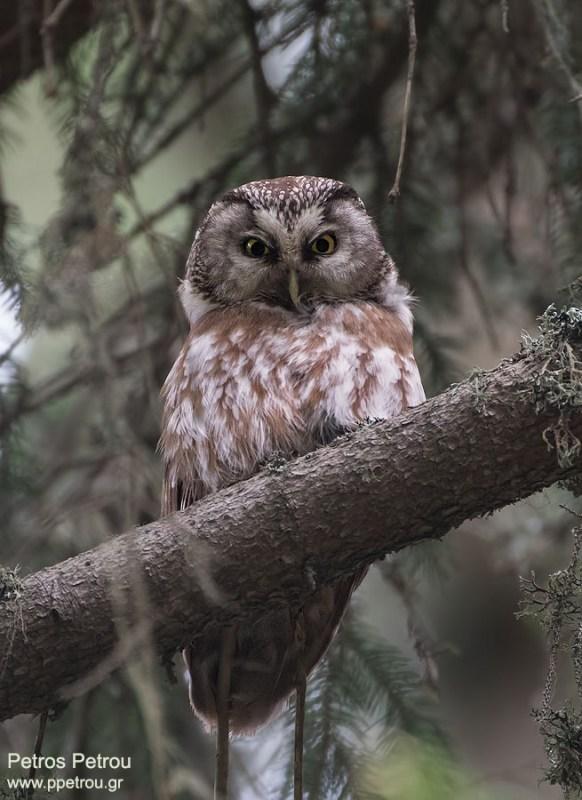 tengmalms_owl_2016-06_elatia-forest