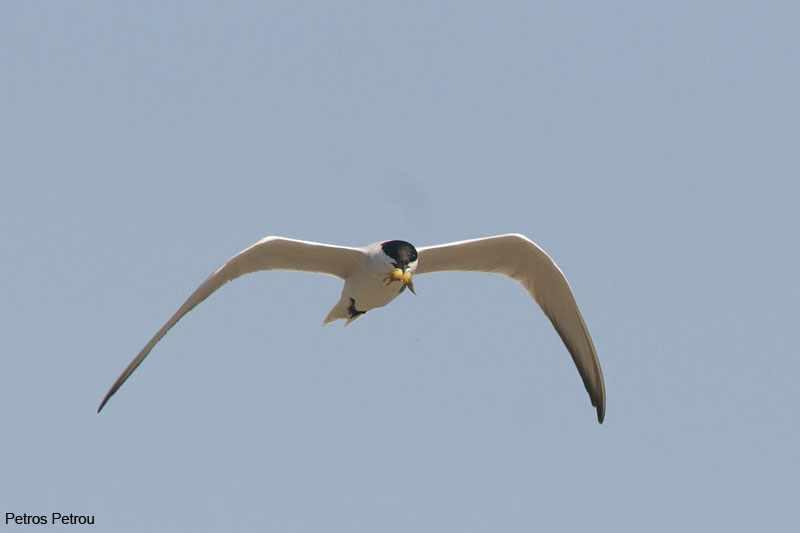 gull-billed-tern_2012-04_mesolonghi