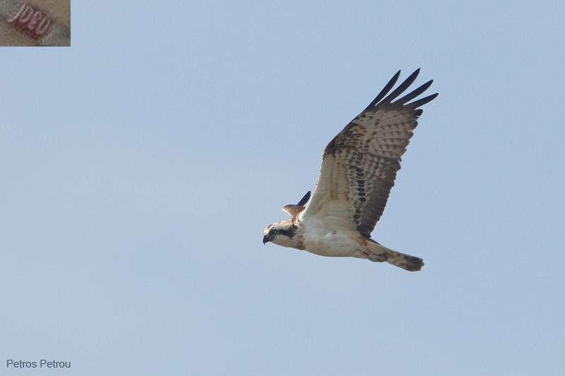 osprey_ringed_2011-12_acheloos-delta