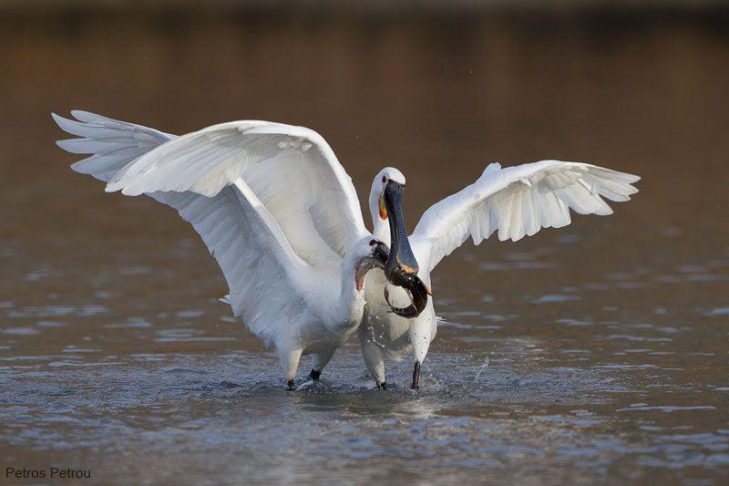 eurasian_spoonbills_fight-for-a-fish_2012-12_kalamas-river