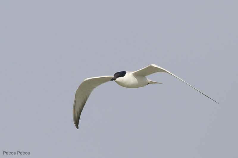 gull-billed-tern_kalamas_2011-04
