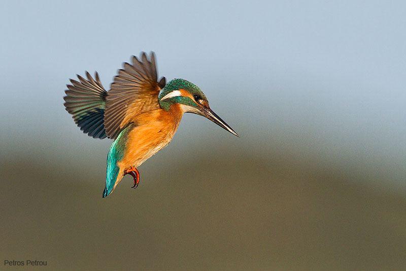 kingfisher_2011-12_kalamas