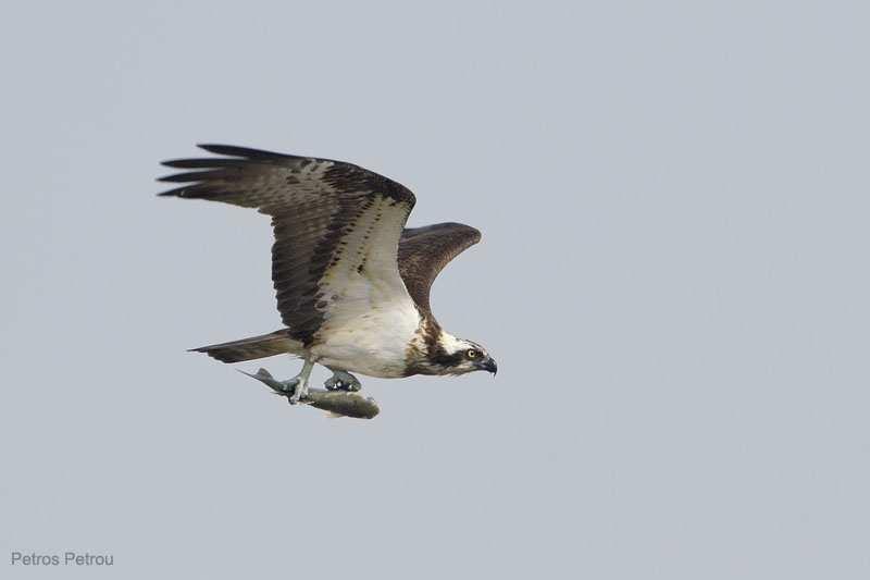 osprey-with-fish_kalamas_2011-04