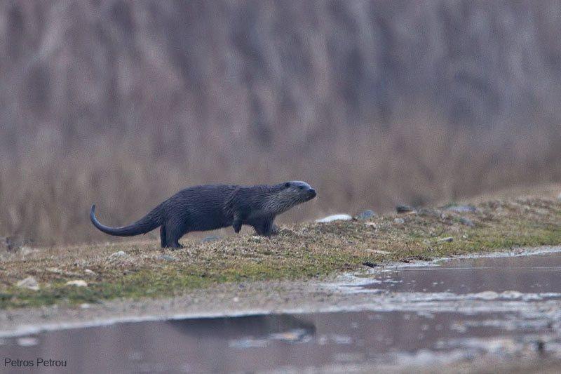eurasian-otter_2012-01_kerkini