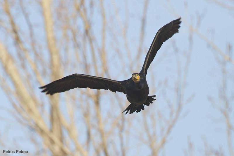 great-cormorant_kerkini_2010-12