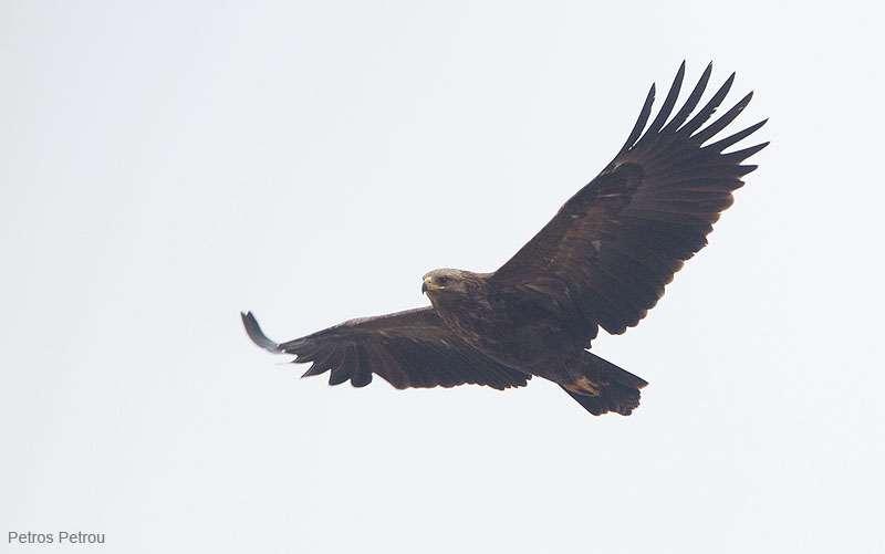 greater-spotted-eagle_2012-01_kerkini