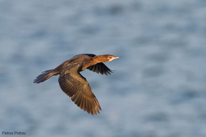 pygmy-cormorant_2012-01_kerkini