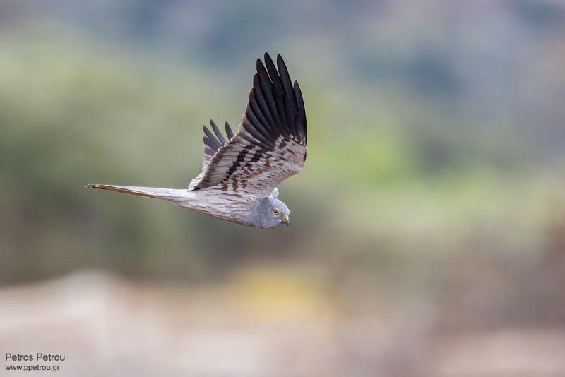Montagus_Harrier_male_flight_2021_Spata