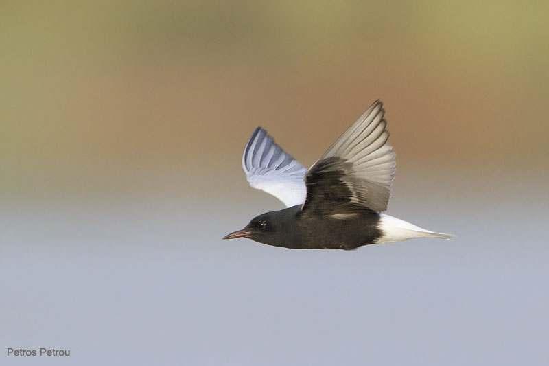 white-winged_tern_2011-06_loutros