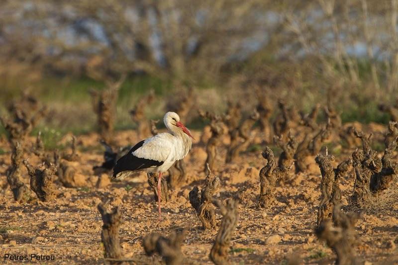 white_stork_loutros_2011-03